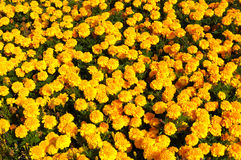 Yellow Flower, Marigold Stock Photos