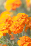 Yellow Flower, Marigold Stock Images