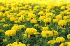 Yellow flower marigold Stock Photo