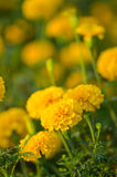 Yellow flower marigold. Field in the garden Royalty Free Stock Image