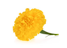 Yellow flower marigold isolated on white Royalty Free Stock Photos