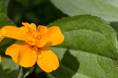 Yellow flower of marigold with water drops Stock Images