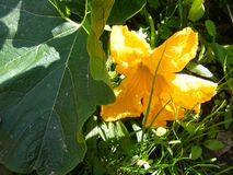 Yellow flower of marrow or zucchini, organic traditional plant of cuisine of Belarus. Yellow flower of marrow, organic traditional plant of cuisine of Belarus stock photography