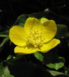 Yellow flower - Marsh marigold Stock Image