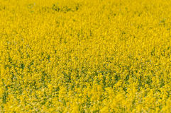 Yellow flower meadow background Stock Photography