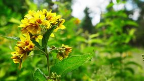 Yellow flower meadow. Beautiful summer forest. Yellow flower meadow. Beautiful summer forest background stock video footage