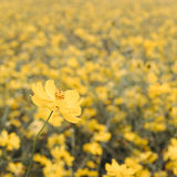 Yellow flower meadow field Royalty Free Stock Photos