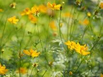 Yellow Flower Mexican Aster Klondyke Type Bright Light Sulphureus beautiful in nature. Background Closeup Yellow Flower Mexican Aster Klondyke Type Bright Light stock images
