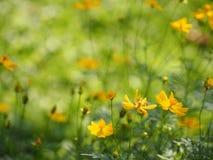 Yellow Flower Mexican Aster Klondyke Type Bright Light Sulphureus beautiful in nature. Background Closeup Yellow Flower Mexican Aster Klondyke Type Bright Light stock photos