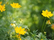 Yellow Flower Mexican Aster Klondyke Type Bright Light Sulphureus beautiful in nature. Closeup Yellow Flower Mexican Aster Klondyke Type Bright Light Sulphureus royalty free stock image