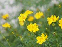 Yellow Flower Mexican Aster Klondyke Type Bright Light Sulphureus beautiful in nature. Closeup Yellow Flower Mexican Aster Klondyke Type Bright Light Sulphureus stock images