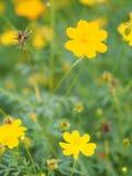 Yellow Flower Mexican Aster Klondyke Type Bright Light Sulphureus beautiful in nature. Closeup Yellow Flower Mexican Aster Klondyke Type Bright Light Sulphureus royalty free stock photo