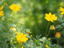 Yellow Flower Mexican Aster Klondyke Type Bright Light Sulphureus beautiful in nature. Closeup Yellow Flower Mexican Aster Klondyke Type Bright Light Sulphureus stock image