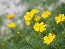 Yellow Flower Mexican Aster Klondyke Type Bright Light Sulphureus beautiful in nature. Closeup Yellow Flower Mexican Aster Klondyke Type Bright Light Sulphureus stock photography