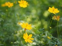 Yellow Flower Mexican Aster Klondyke Type Bright Light Sulphureus beautiful in nature. Closeup Yellow Flower Mexican Aster Klondyke Type Bright Light Sulphureus royalty free stock photography