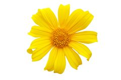 Yellow flower `Mexican sunflower` `calendula` `Bua Tong` isolated on white stock photos