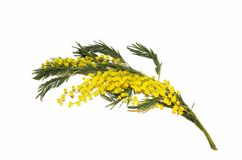 Yellow flower Mimosa. Royalty Free Stock Image