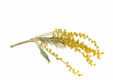 Yellow flower Mimosa. Stock Image