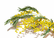 Yellow flower Mimosa. Royalty Free Stock Images
