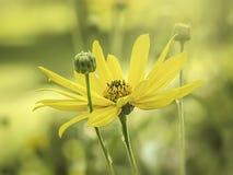Yellow flower mood Royalty Free Stock Image