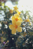 Yellow flower. In the morning Stock Image