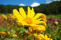 Yellow flower of mountain. Yellow flower in view mountain Stock Photography