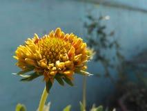 Yellow flower. Flower of my garden Stock Photo