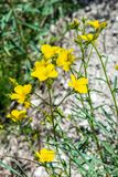 A yellow flower named `Helianthemum sintaeseum`. A typical chalk plant found on pure chalk Royalty Free Stock Photos