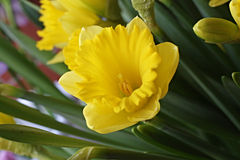 Yellow flower narcissus Royalty Free Stock Images