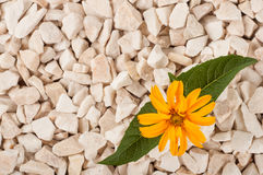Yellow flower in nature. It grows on rocks in the rock Royalty Free Stock Photos