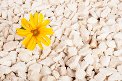 Yellow flower in nature. It grows on rocks in the rock Royalty Free Stock Photography