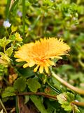 Yellow flower. Nature plant leafs royalty free stock photography