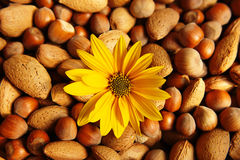 Yellow flower with nuts. A closeup of a yellow flower with some nuts Royalty Free Stock Photography