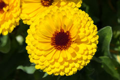Yellow flower of October Birth Flower Calendula. Royalty Free Stock Photo