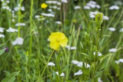 Yellow flower Oenothera or Evening primrose in field stock images