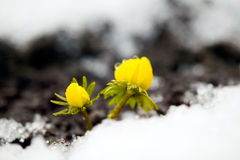 Yellow Flower On Soil, Snow Around