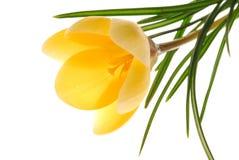 Yellow Flower On White Royalty Free Stock Photos