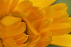 Yellow flower opening in the morning Stock Images