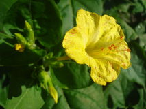 Yellow flower with orange stamens. Yellow mirabilis jalapa flower (also called four oclock flower - the flowers open in late afternoon Stock Photos