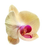 Yellow flower orchids Stock Photos