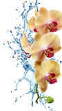 Yellow flower orchids Stock Images
