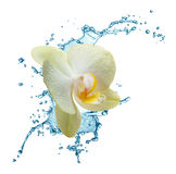 Yellow flower orchids Stock Photo