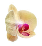 Yellow flower orchids Stock Photography