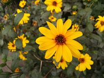 Yellow flower. Outdoor Royalty Free Stock Photography