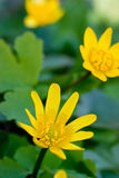 Yellow flower over green grass Royalty Free Stock Photos