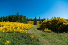 Yellow flower over high hill slope, New Zealand Royalty Free Stock Photo