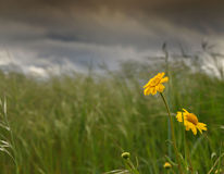 Yellow flower, overcast weather. A winter day in the middle of spring Stock Image