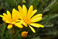 Yellow flower paquerette Royalty Free Stock Photos