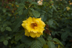 Yellow flower Royalty Free Stock Photography