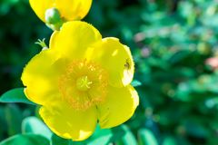 Yellow flower in the park with spider royalty free stock photography